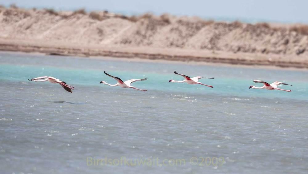 4 Lesser Flamingos in flight