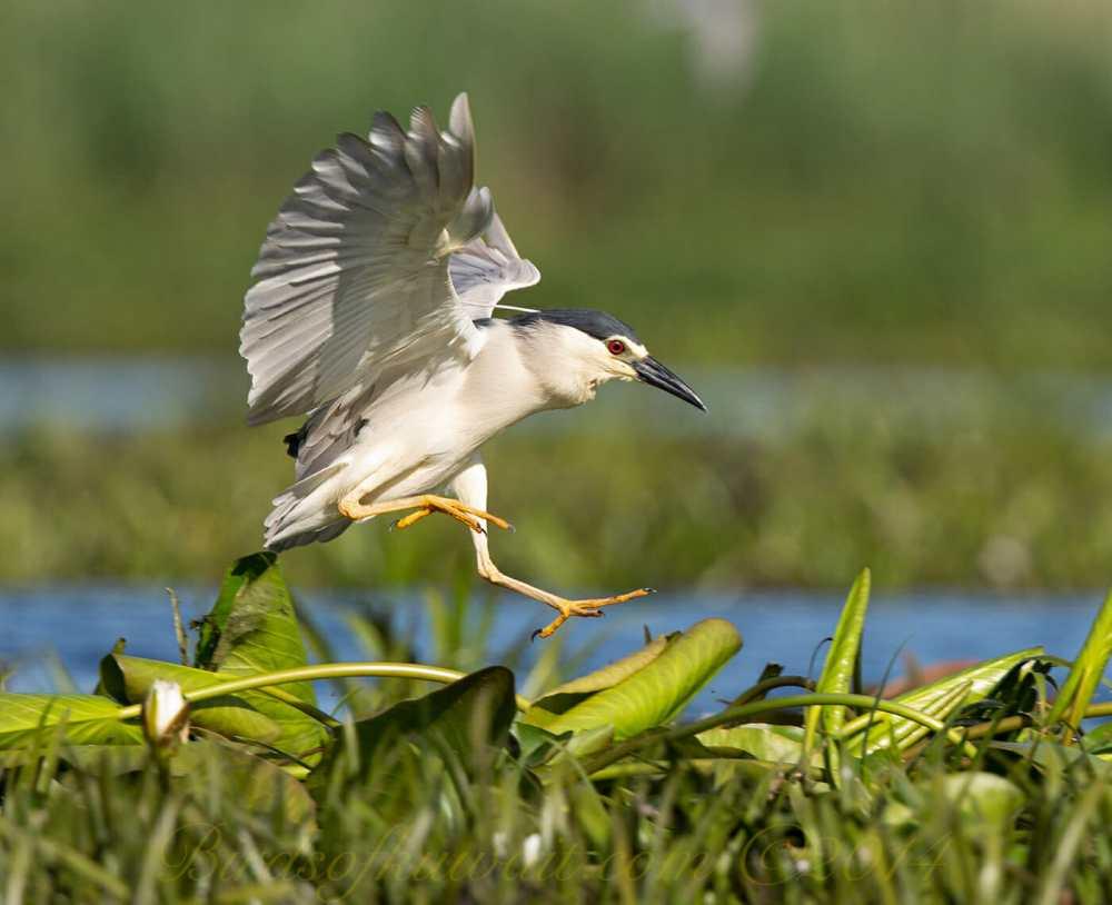 Black-crowned Night Heron landing on plants