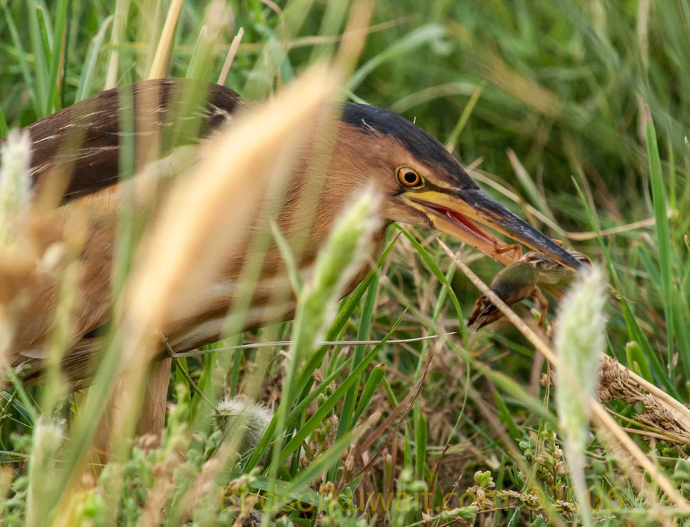 Little Bittern with a cricket in its beak
