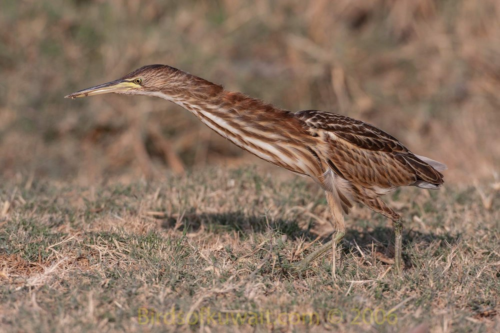 Little Bittern feeding on the ground