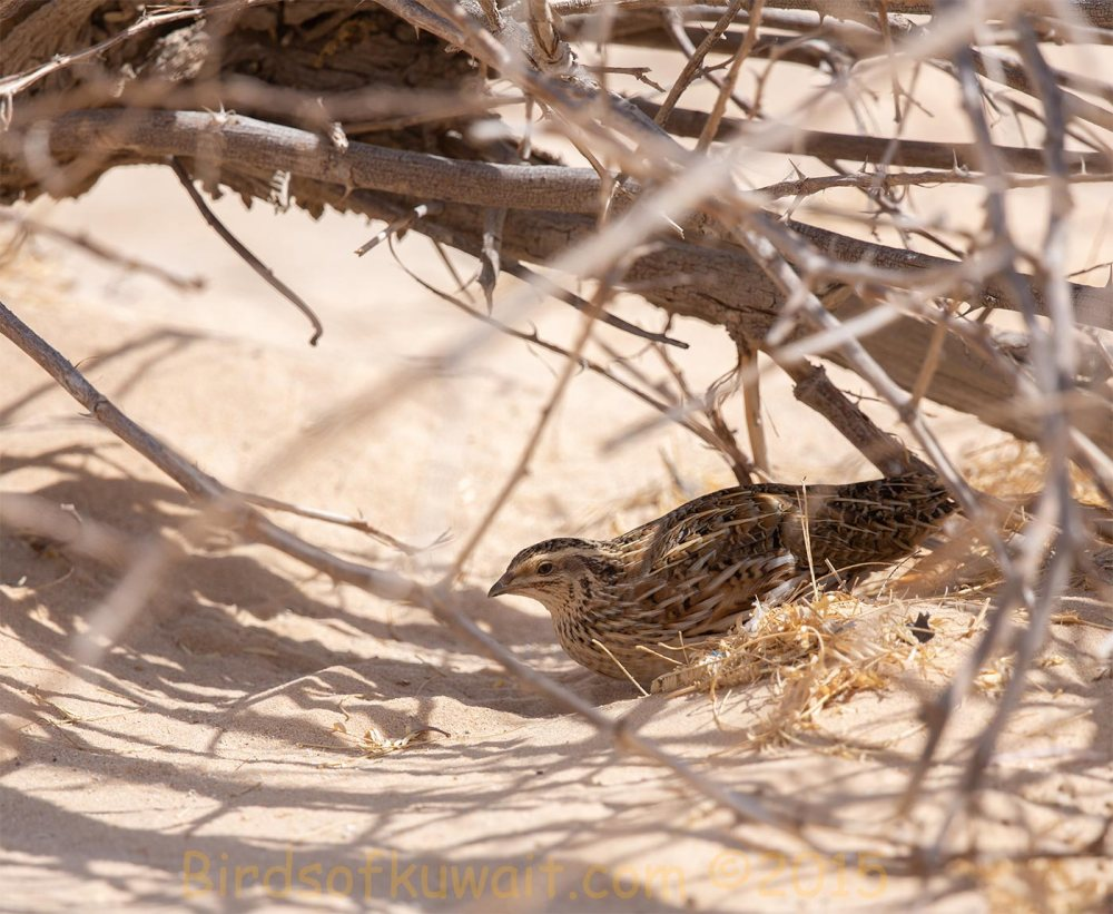Common Quail in the shade of a fallen tree