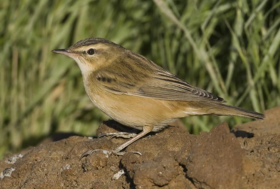 Sedge Warbler on a mound