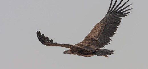Lappet-faced Vulture Torgos trachielotos