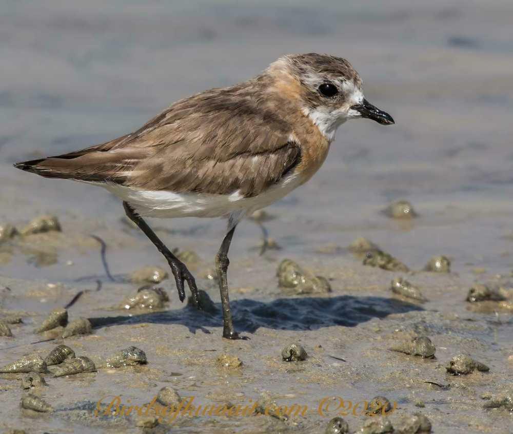 Lesser Sand Plover sanding at the edge of shoreline