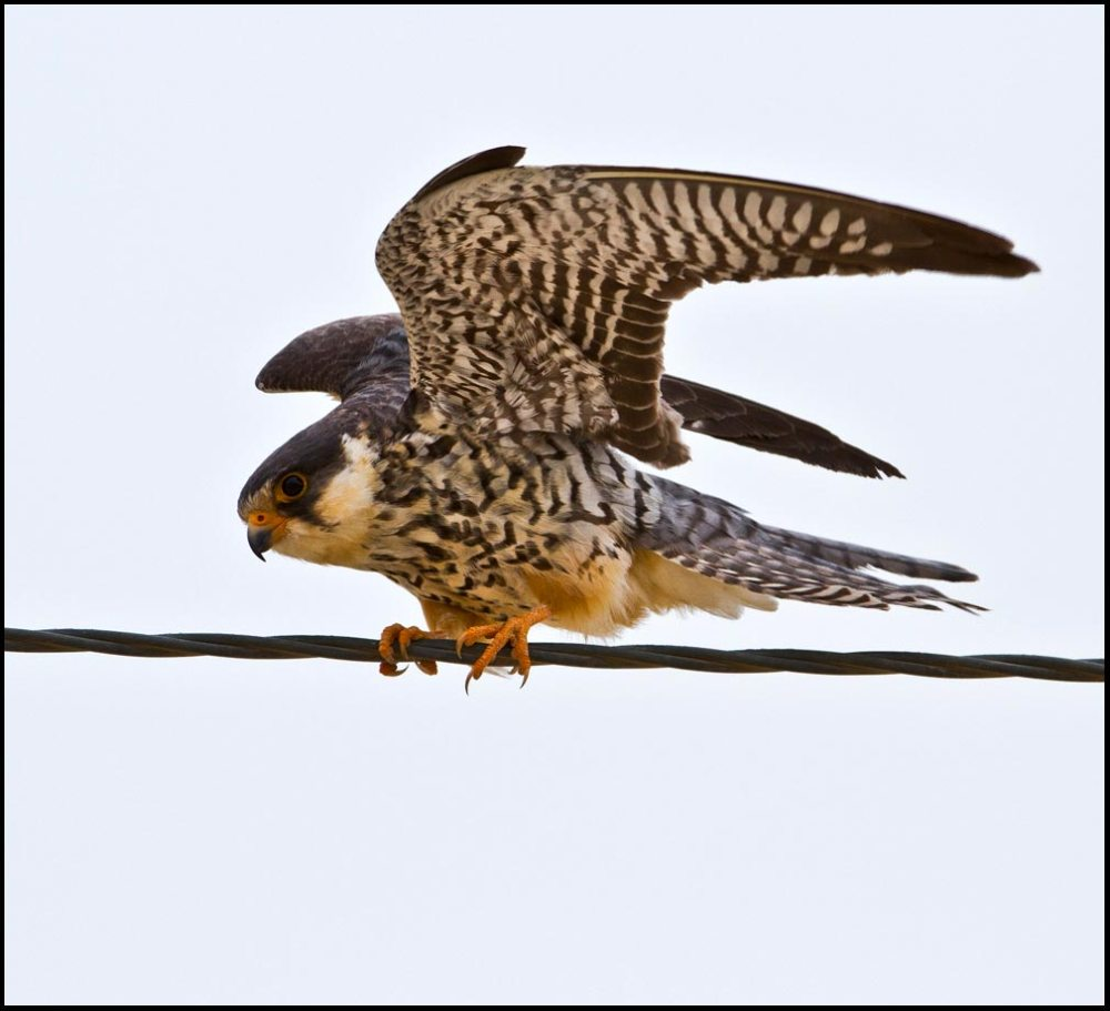 Amur Falcon perching on steel wire