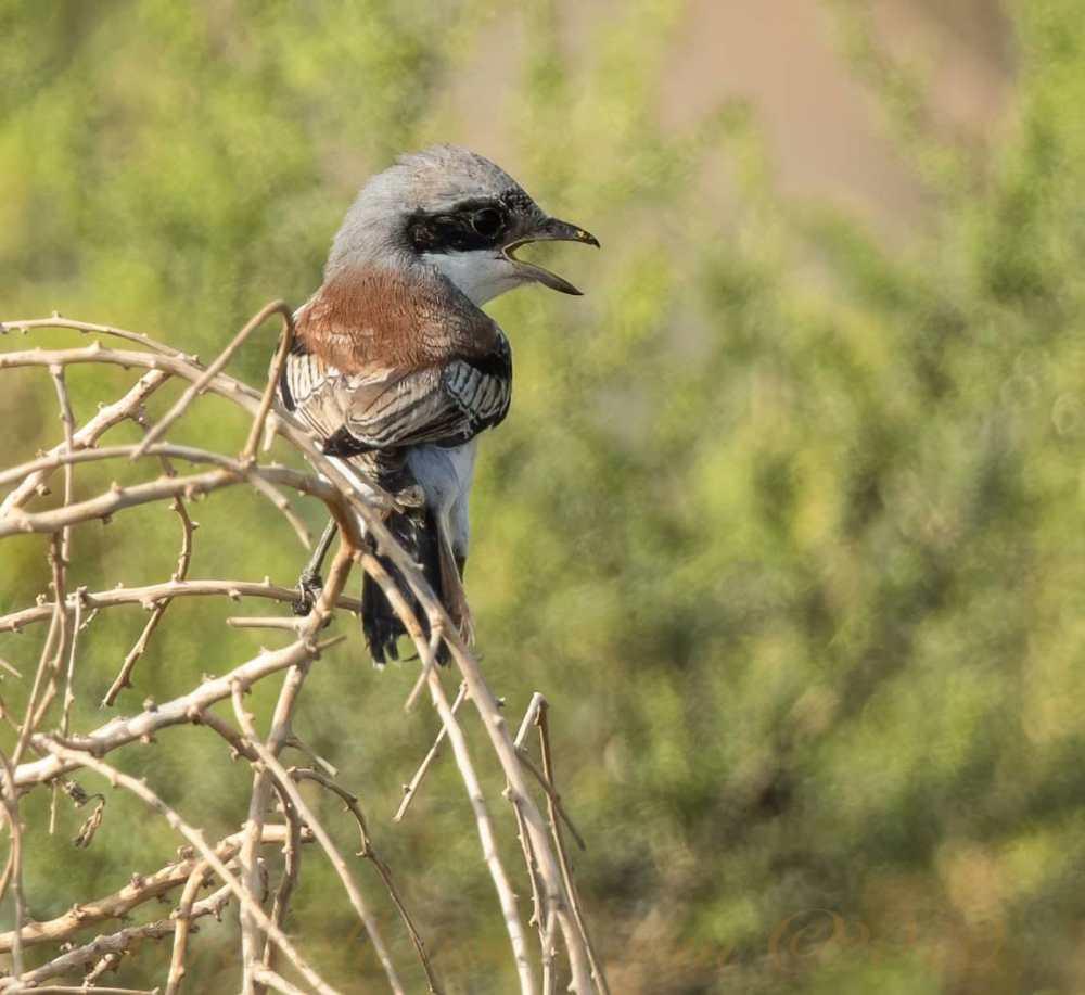 A Bay-backed Shrike perching on twigs