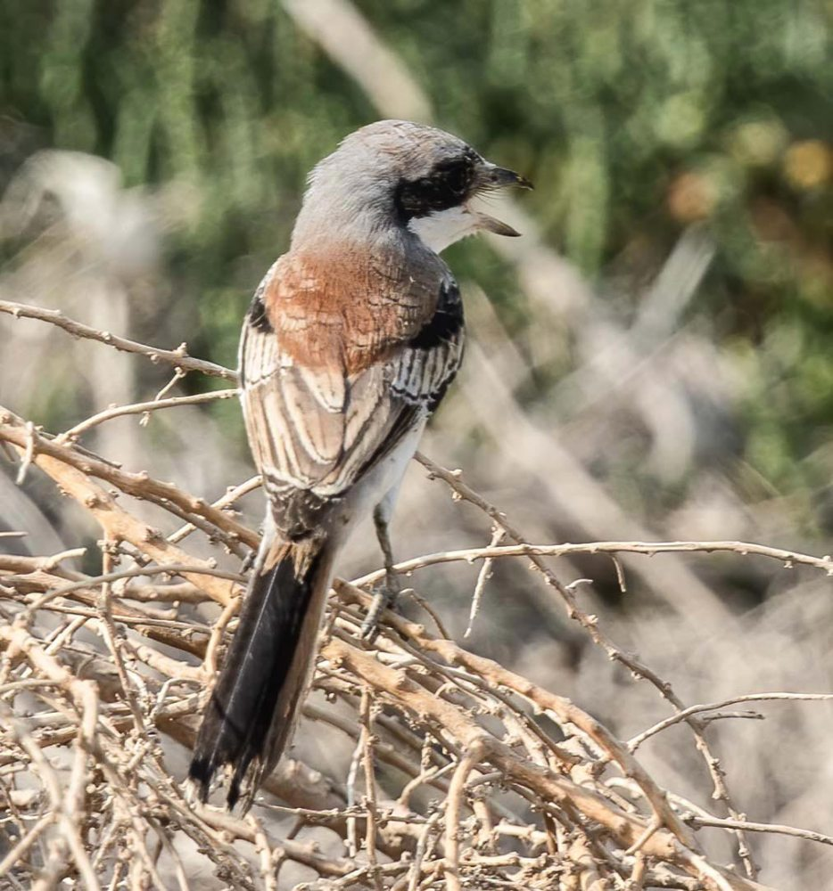 A Bay-backed Shrike perching on twigs