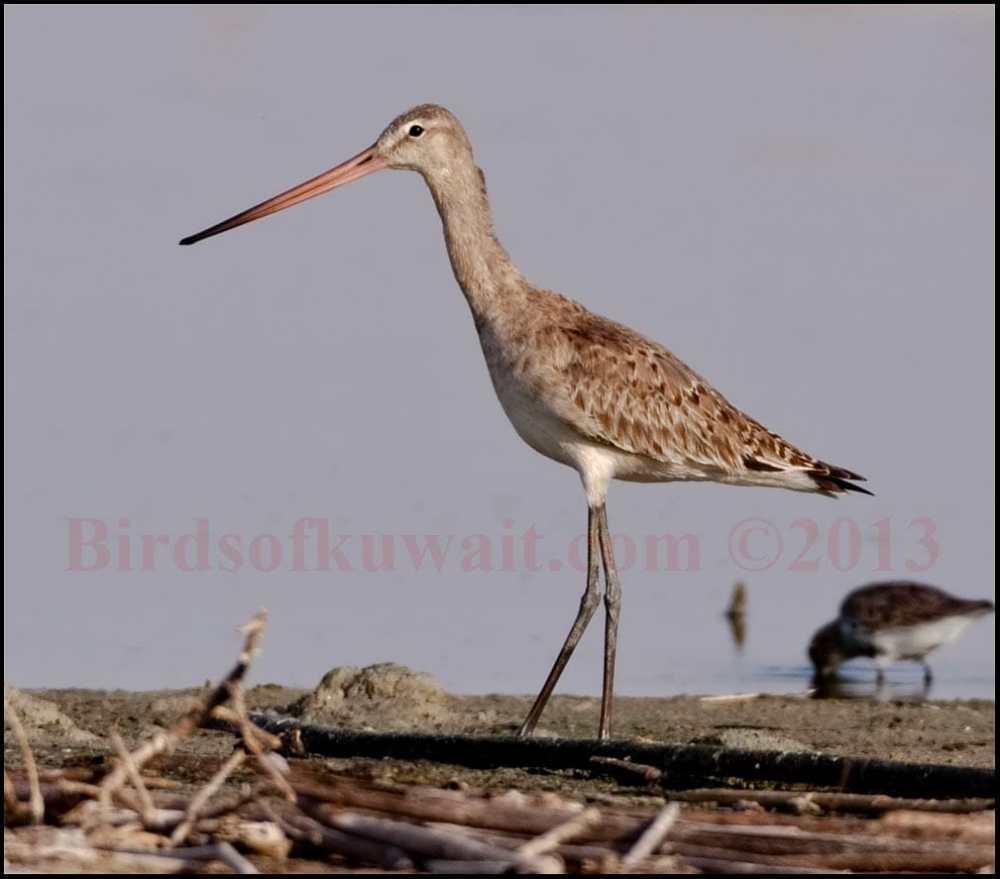 Black-tailed Godwit feeding close to shoreline
