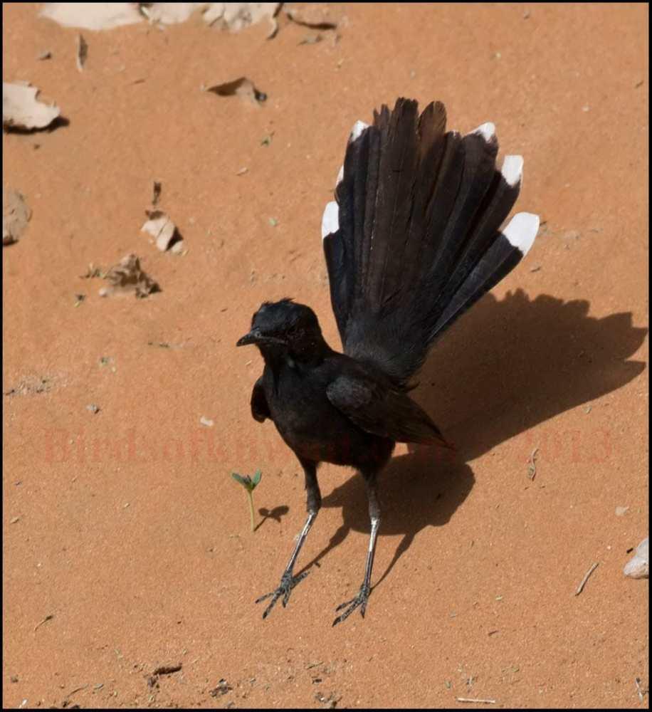 A Black Scrub Robin fanning its tail