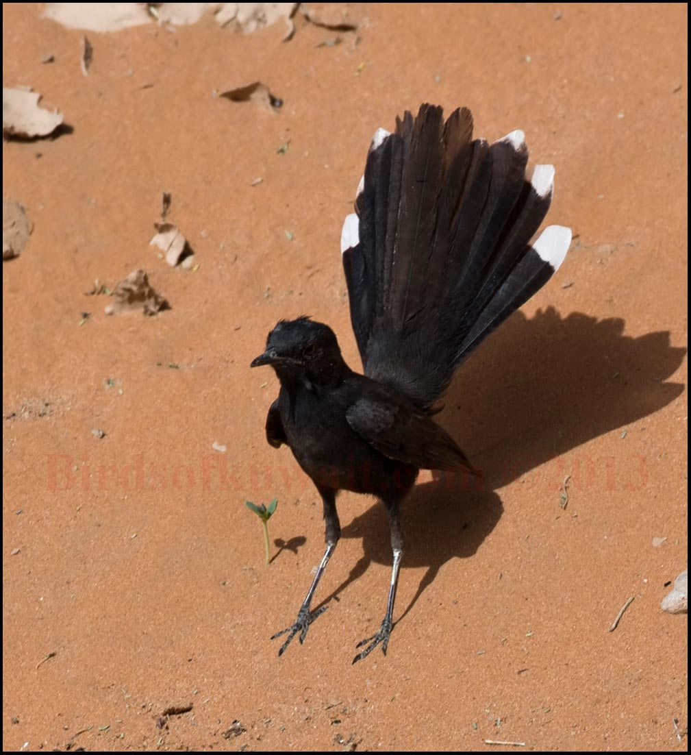 A Black Scrub Robin fanning its tail
