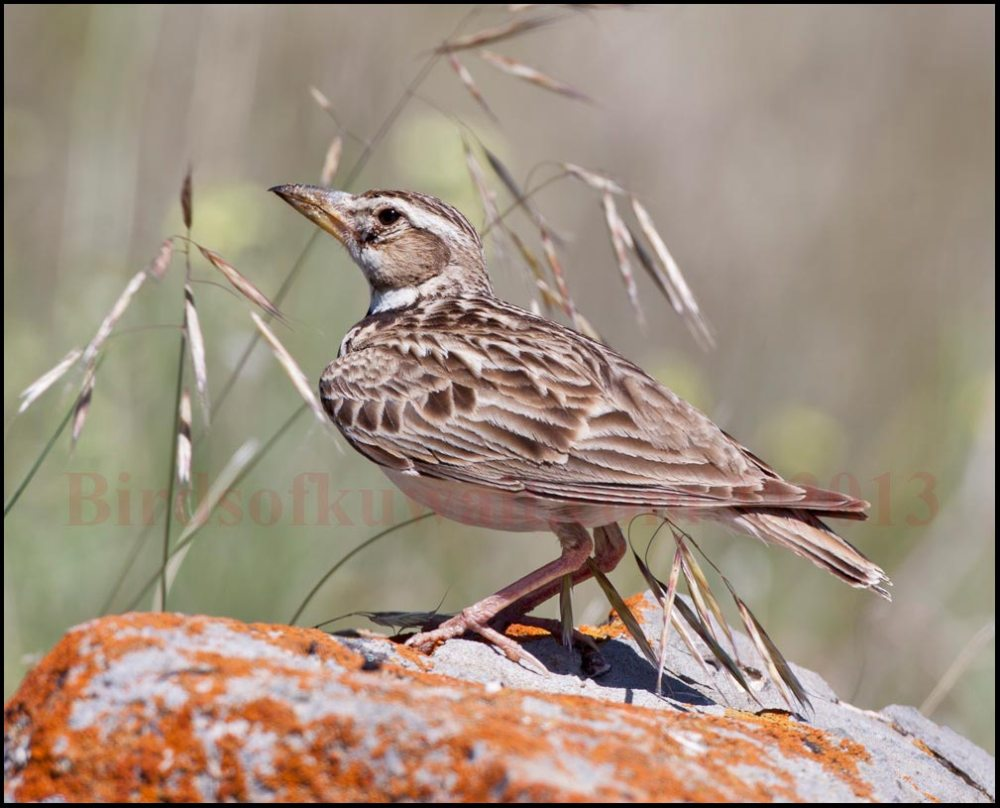 Calandra Lark sitting on a rock