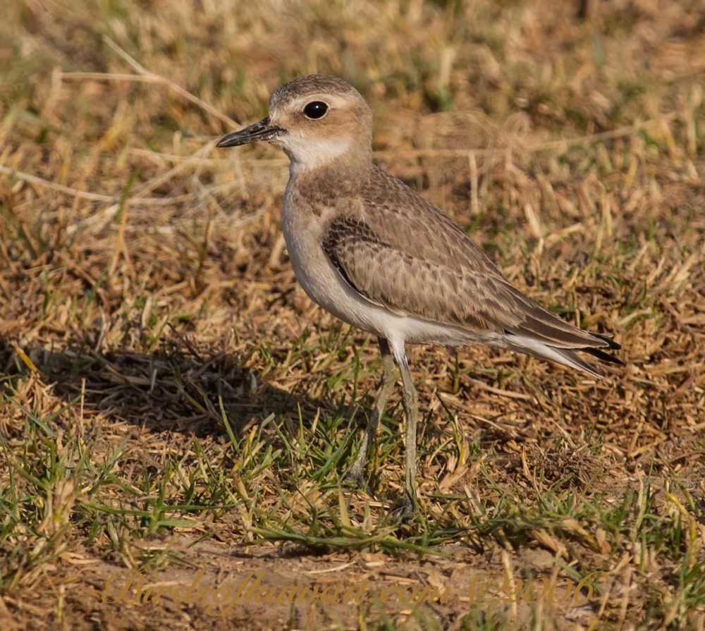 A young Caspian Plover standing on grassy area