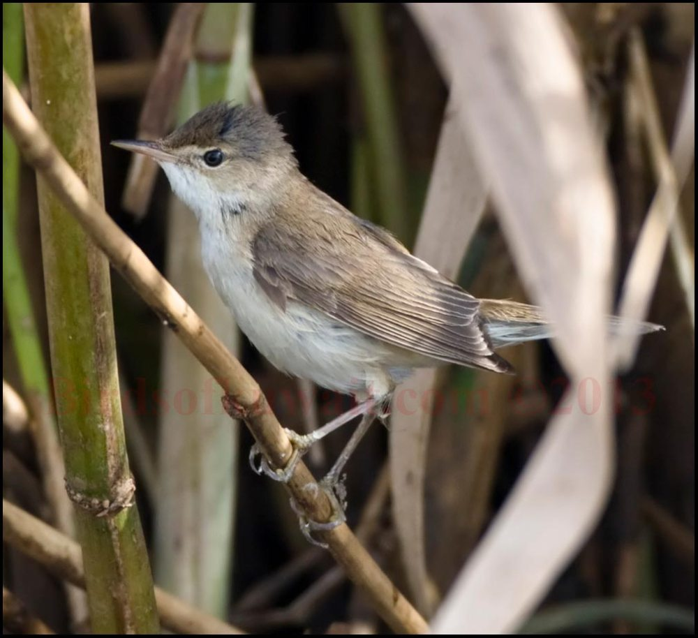 European Reed Warbler on a branch
