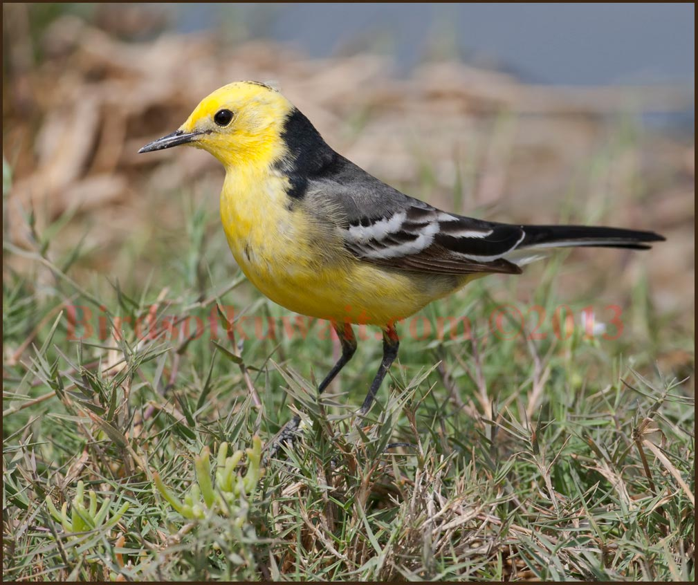 A beautiful male Citrine Wagtail in breeding plumage