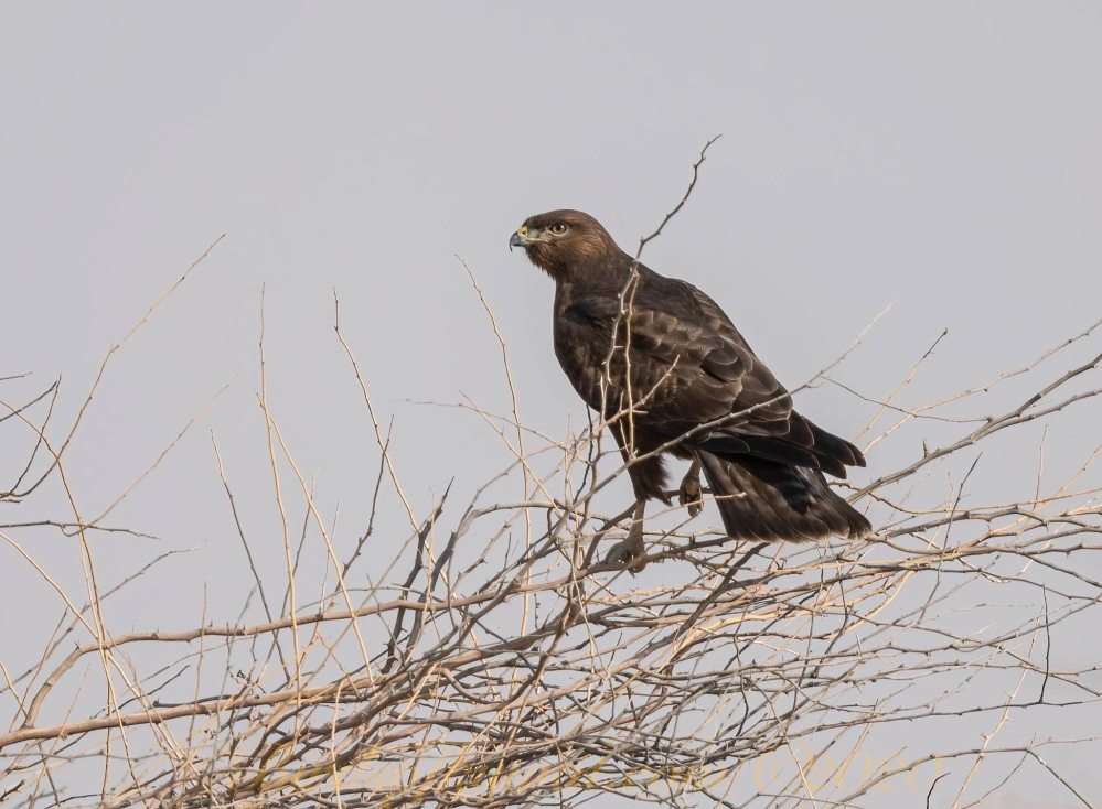 Common Buzzard perching on a tree