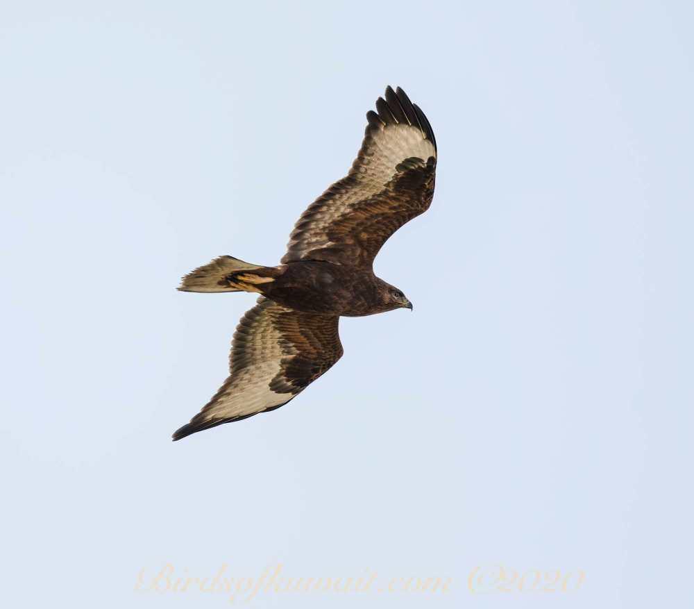 Common Buzzard vulpinus in flight from below