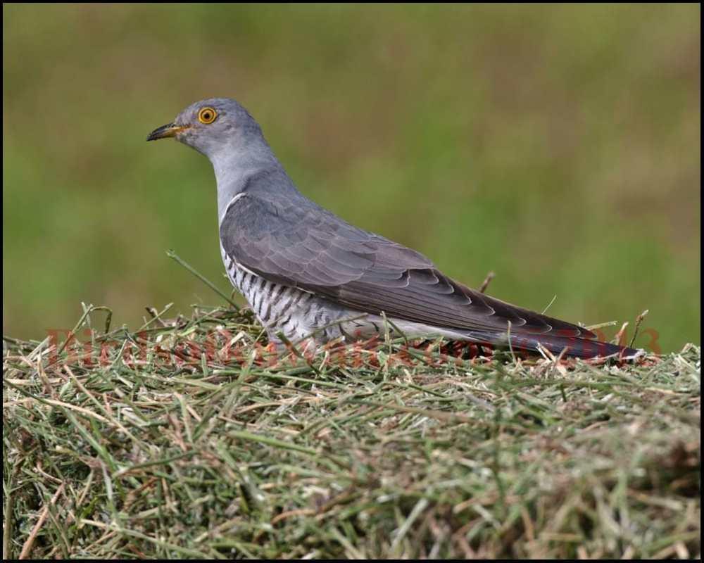 Common Cuckoo perching on haystack