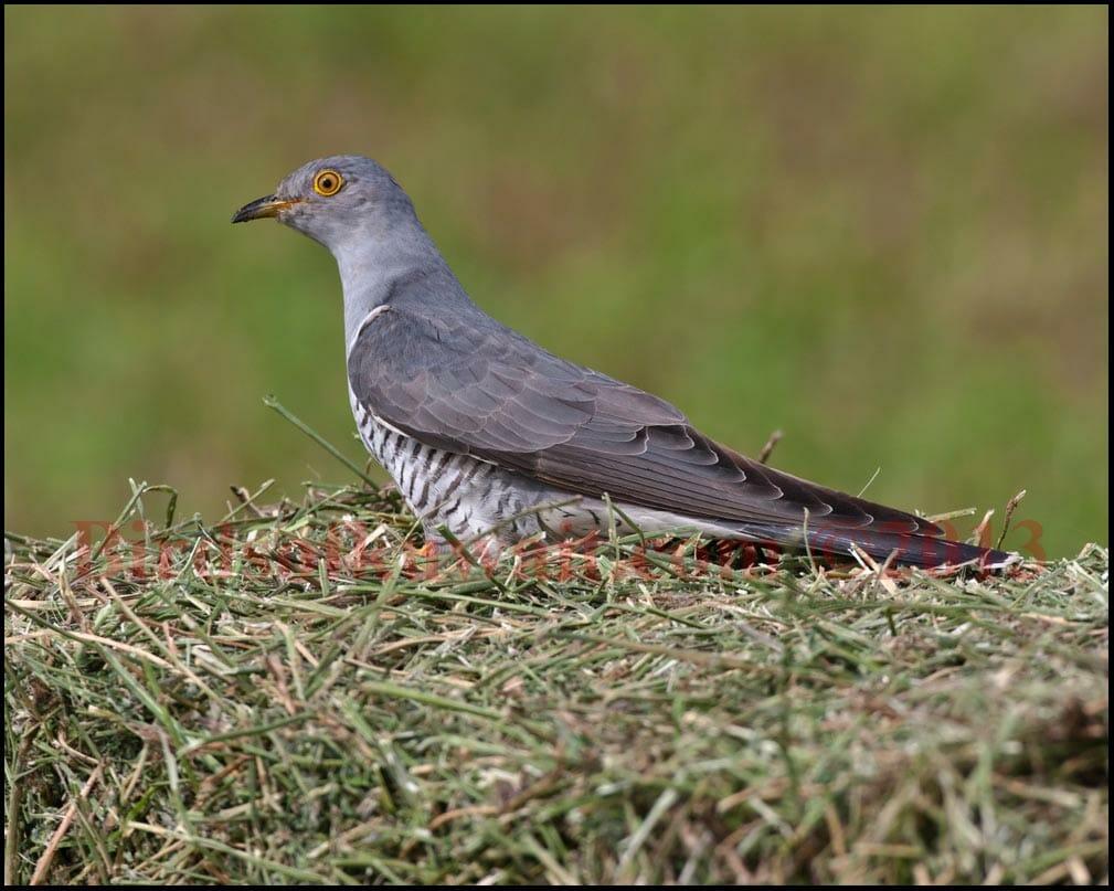 Common Cuckoo on grass