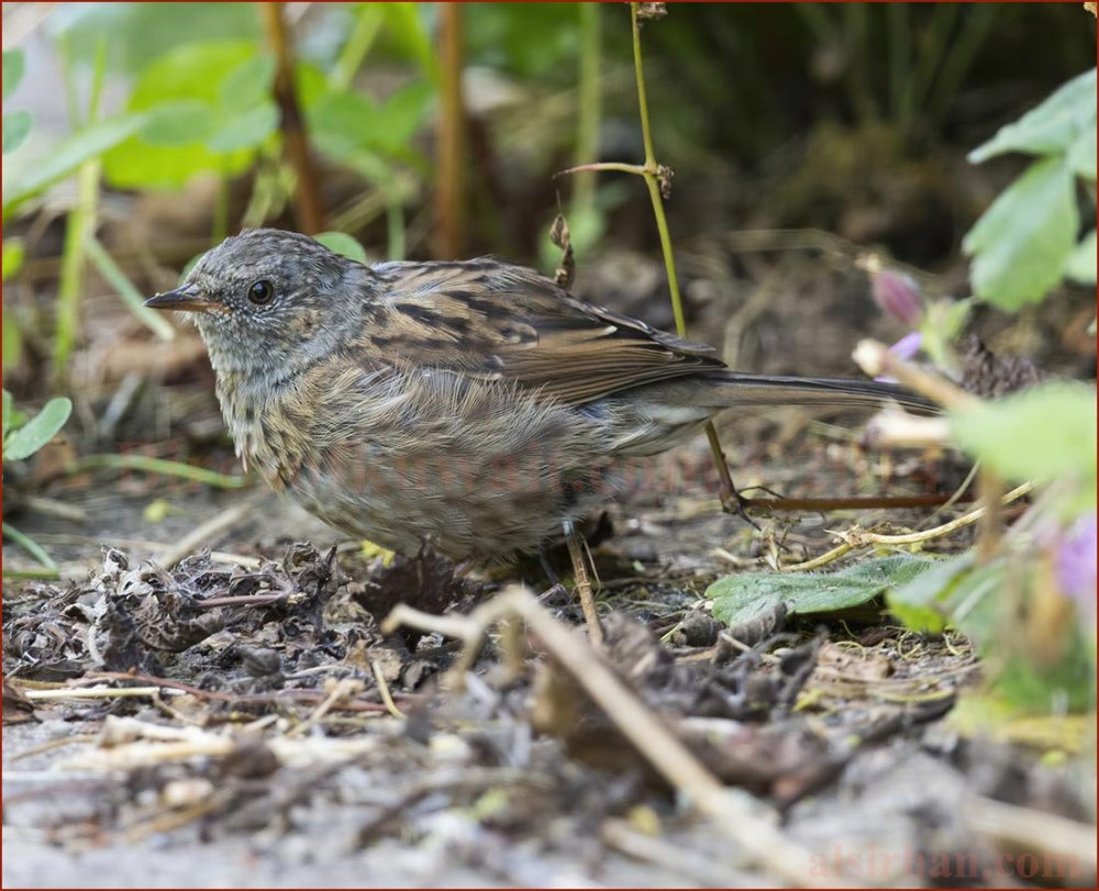 Dunnock searching for food in the undergrowth