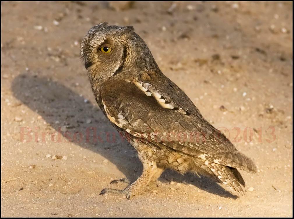 Eurasian Scops Owl standing on the ground