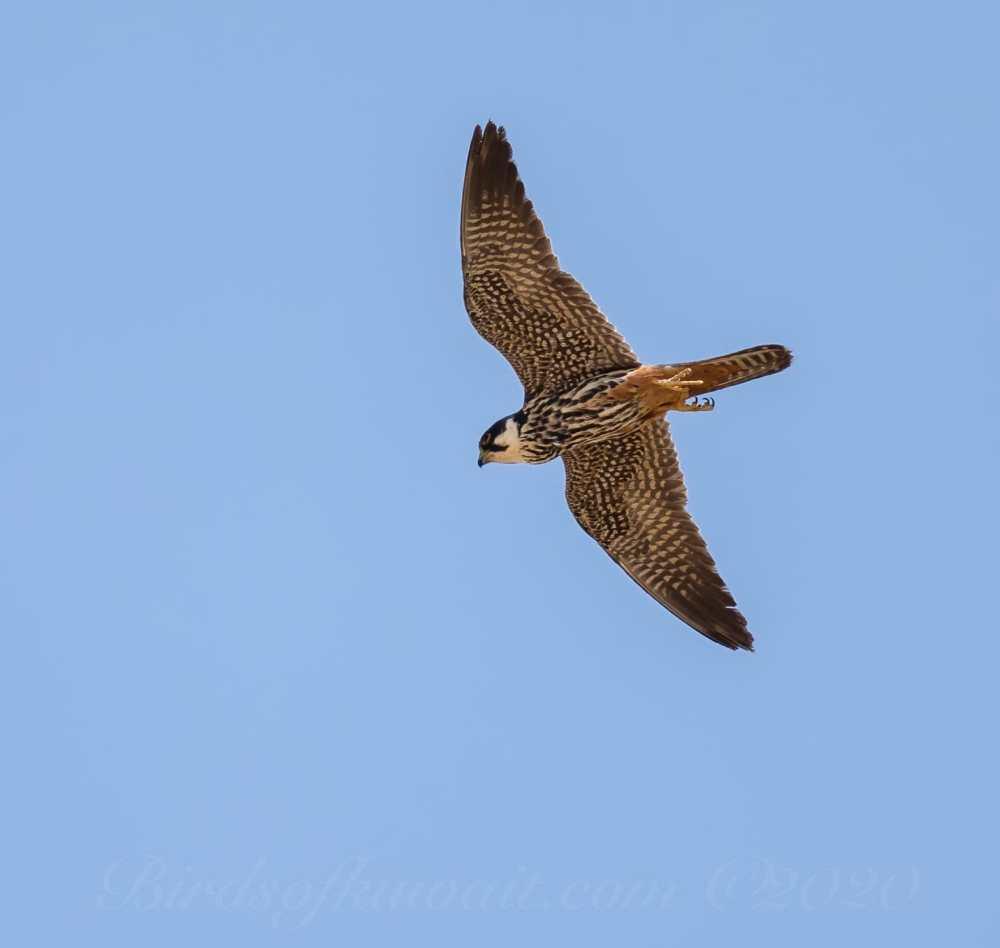 Eurasian Hobbyin flight from below