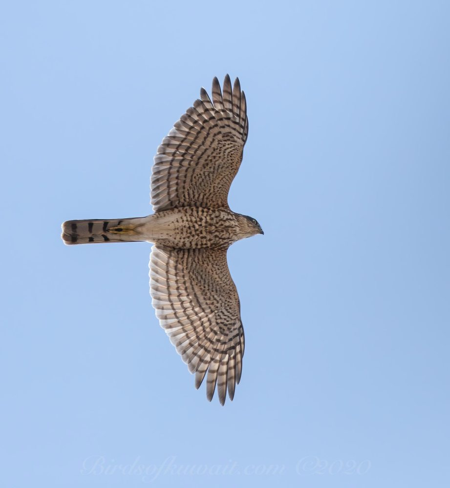 Eurasian Sparrowhawk in flight passing overhead