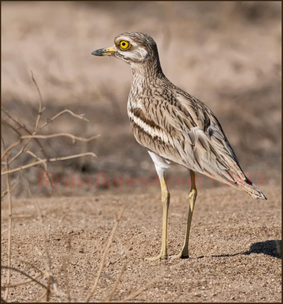 A standing Eurasian Stone-curlew on the desert floor