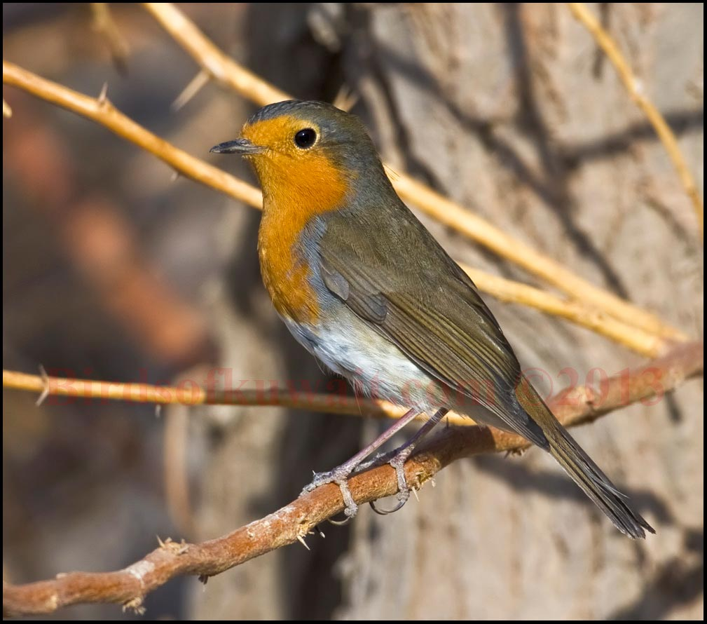 A European Robin standing on a branch