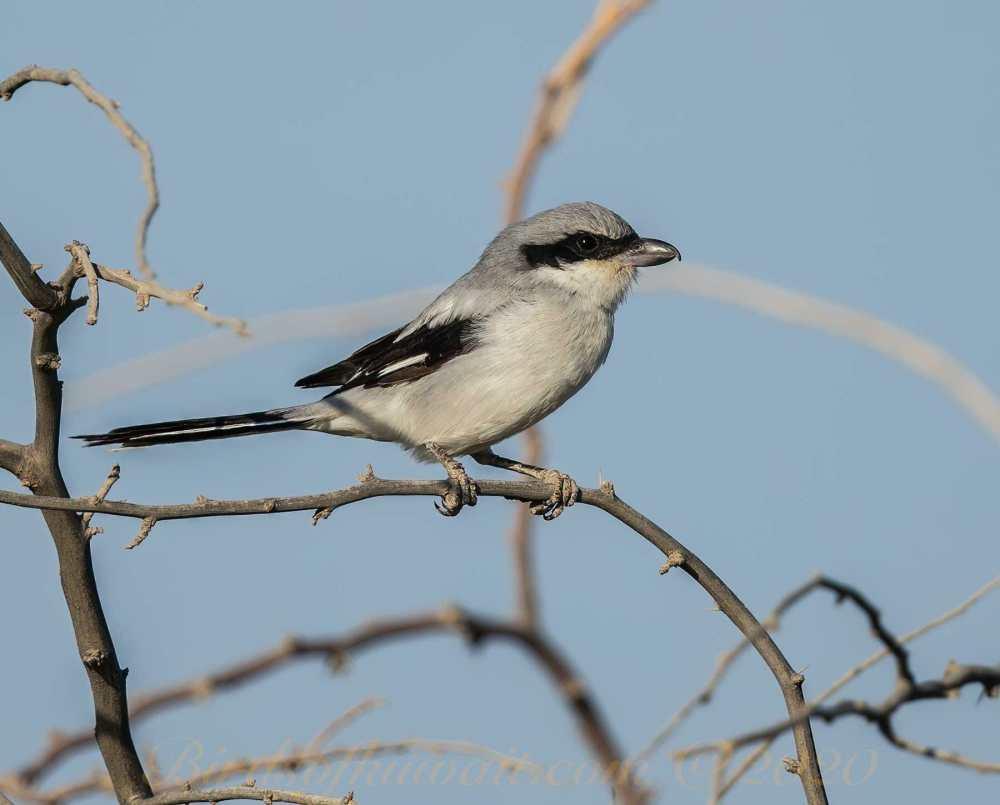Great Grey Shrike (Arabian) perching on a branch