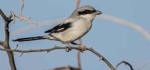 Great Grey Shrike (Arabian) perching on a branch