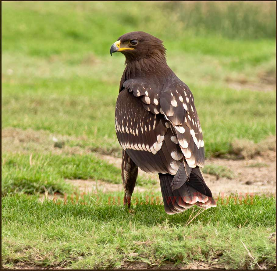 Greater Spotted Eagle standing on green ground