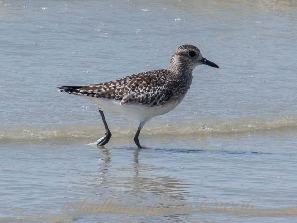 A Grey Plover wading in water