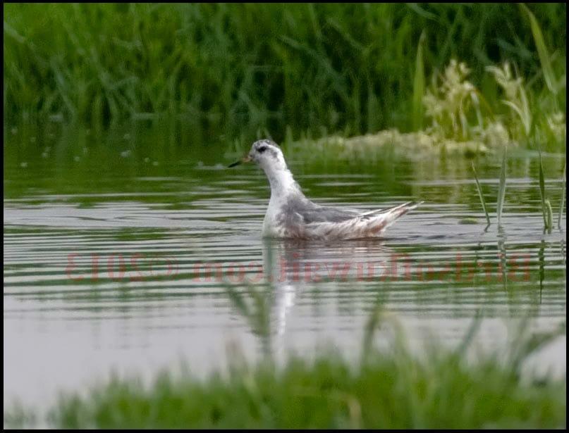 Grey Phalarope Phalaropus fulicarius swimming on water close to reeds