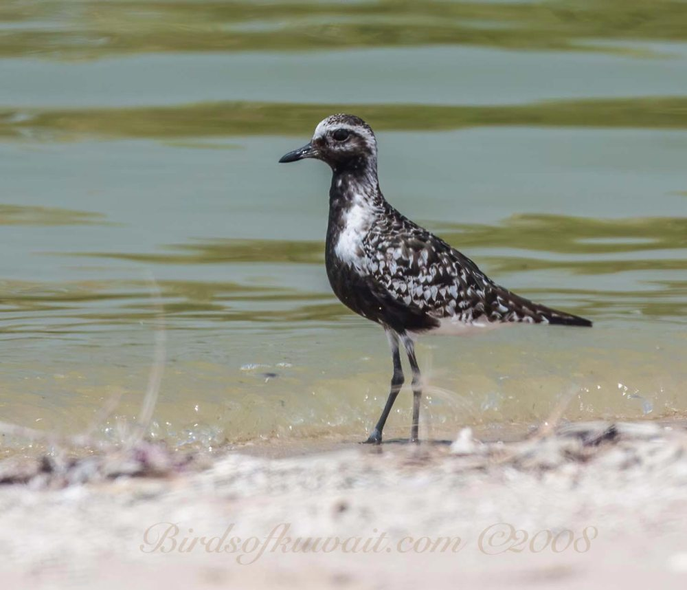 A Grey Plover standing by the shoreline