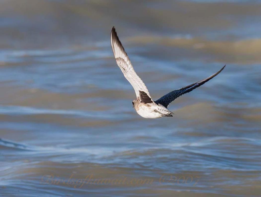 A Grey Plover is flying showing its dark characteristic armpit