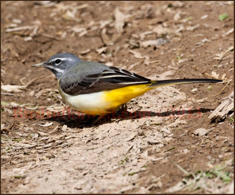 A male Grey Wagtail feeding on the ground