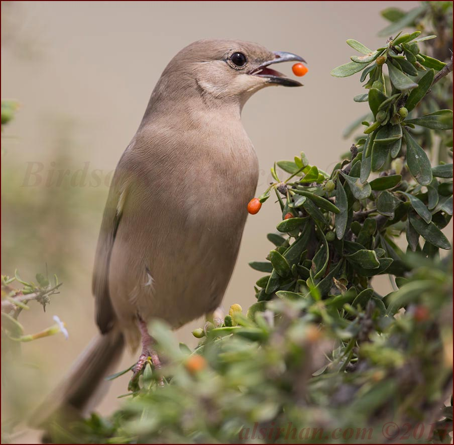 Hypocolius feeding of the red berries of Lycium shawii