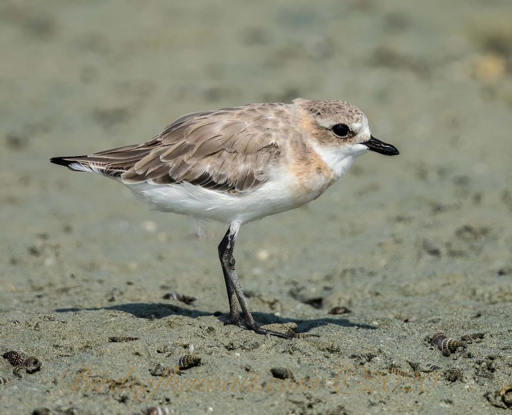 Lesser Sand Plover standing on the coast