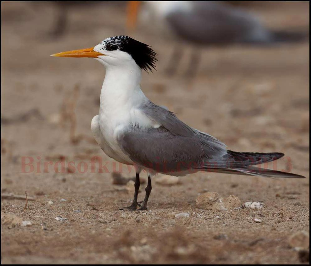 Lesser Crested Tern standing on the ground