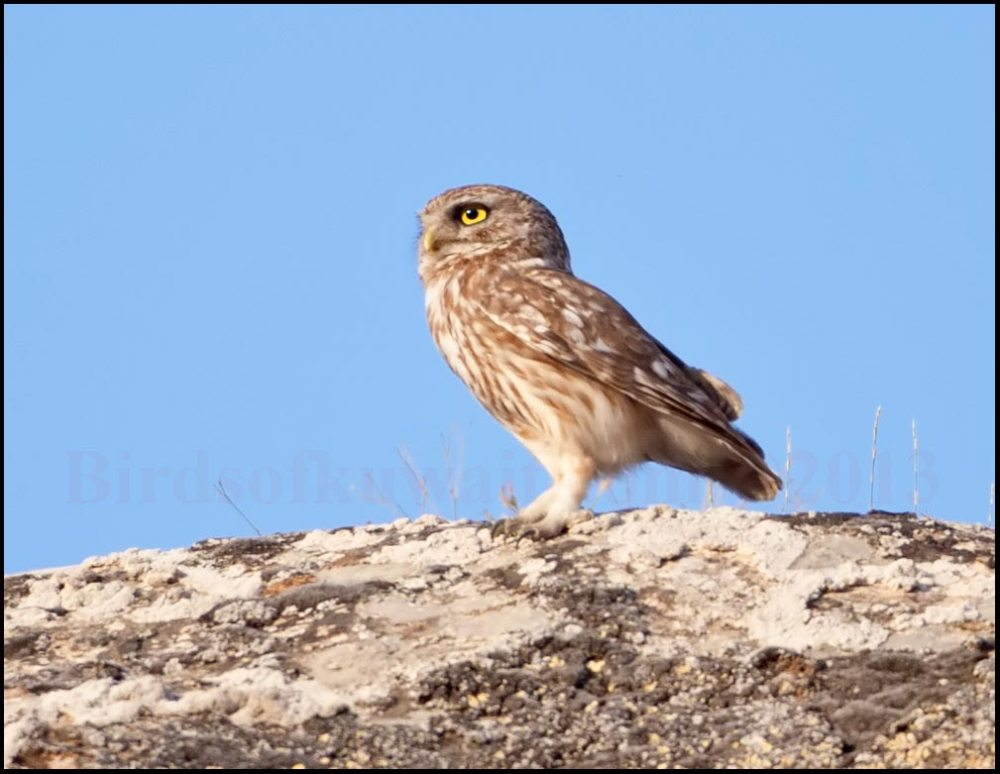 Little Owl perching on top of a hill