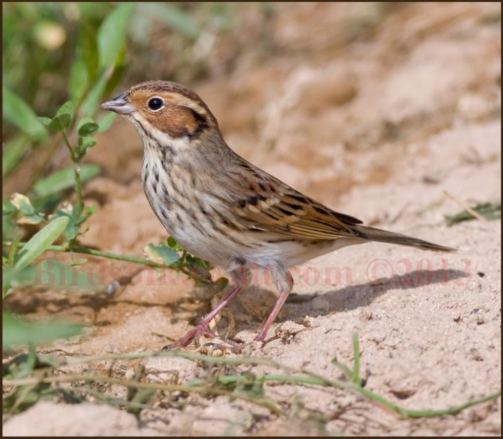 Little Bunting on the ground