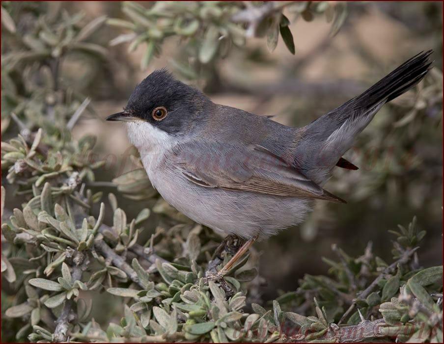 Ménétries's Warbler on a bush