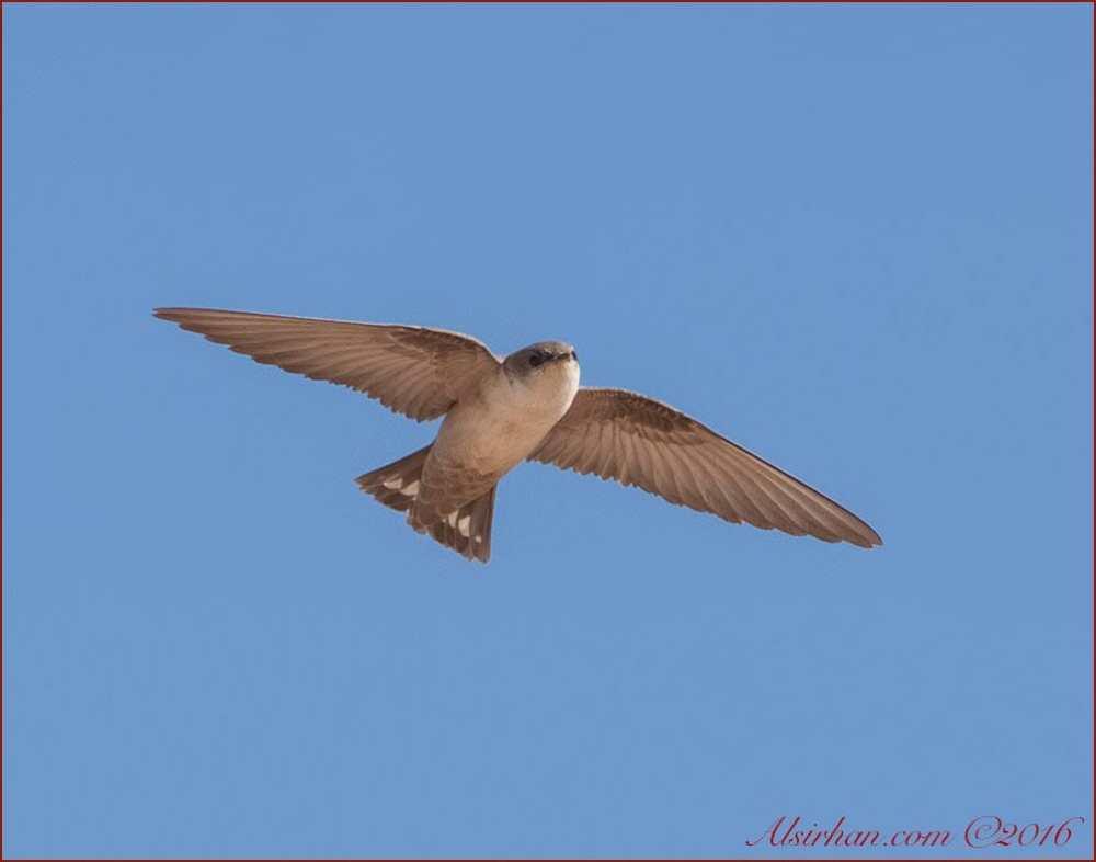 Pale Crag Martin in flight