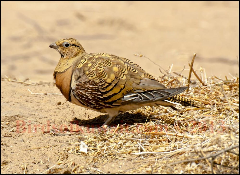 Pin-tailed Sandgrouse on the ground