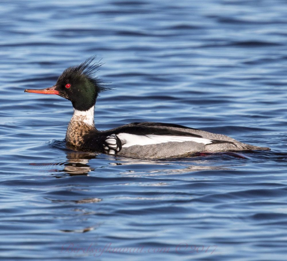 A Red-breasted Merganser swimming in the sea