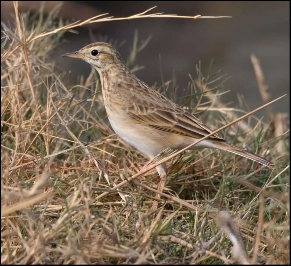 Richard's Pipit standing in grass