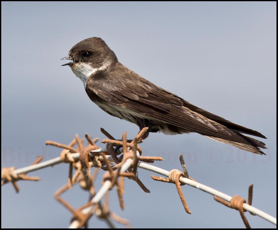 Sand Martin peching on rust barb wire