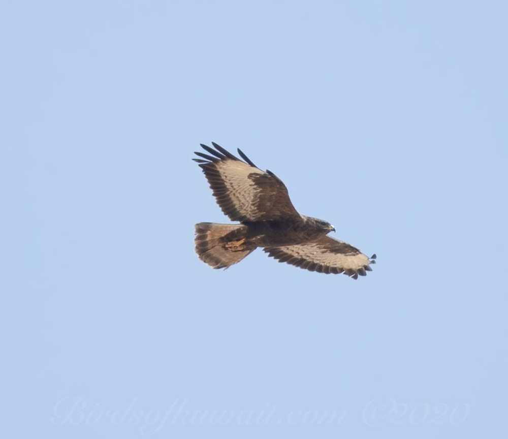 Steppe Buzzard in flight