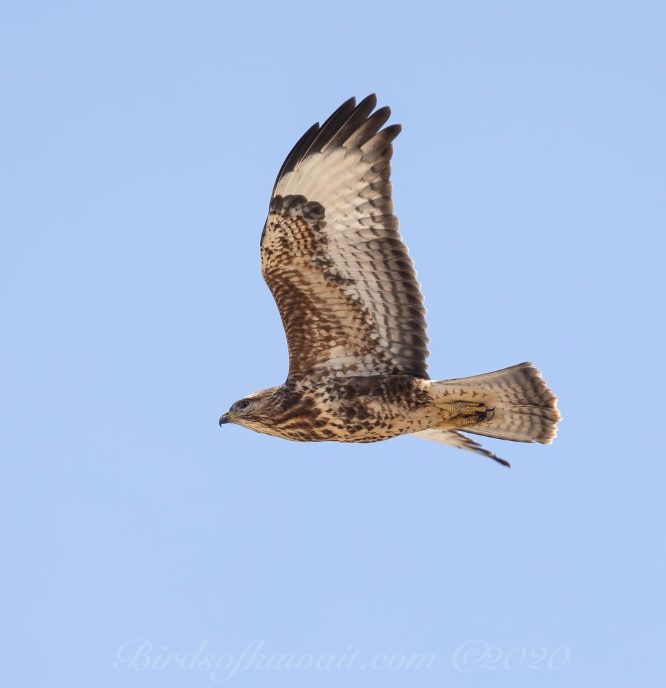 Steppe Buzzard vulpinus flying to the left