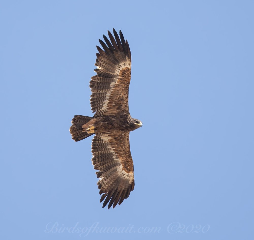 Steppe Eagle in flight passing overhead